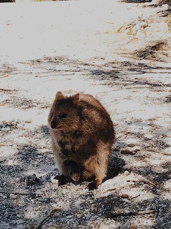 短尾矮袋鼠(quokka)